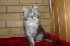 Coon Way Grey Kitti 3 месяца